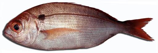 Autorizacion para pesca del besugo de la pinta